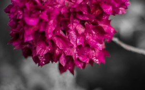 6891267-free-bougainvillea-wallpaper
